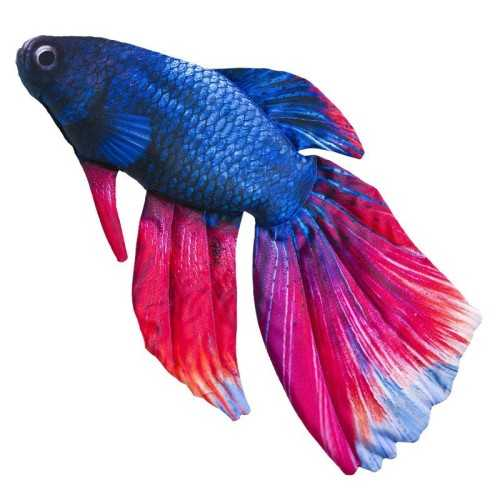 Cuscino d'arredo Pesce Combattente Siamese